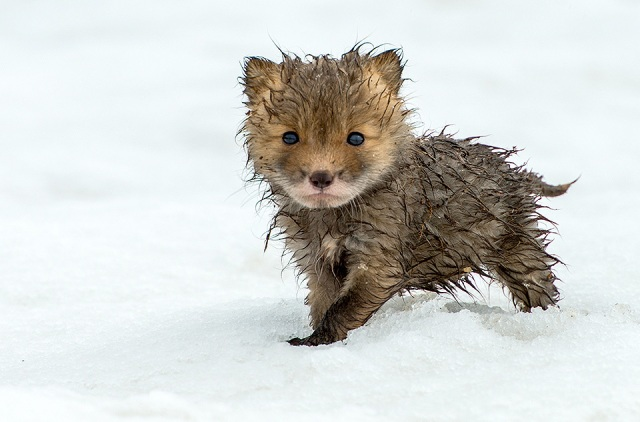 cute-wet-fox-cub.jpg
