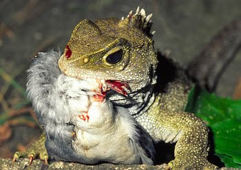 Tuatara with a prion chick, photo by Paddy Ryan.jpg