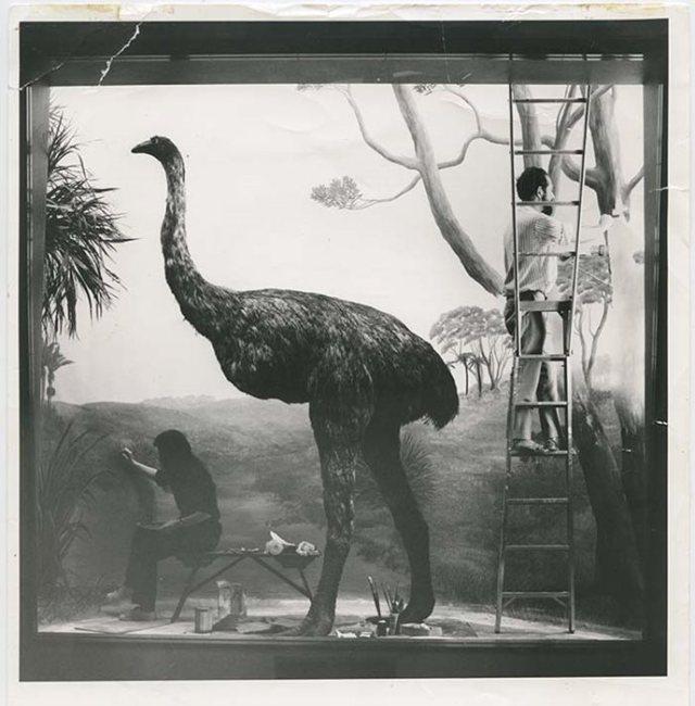 moa exhibit auckland museum