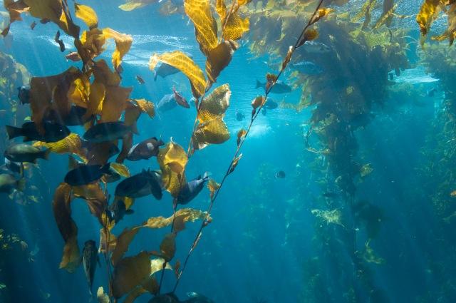 kelp Jonathan Kriz Flickr, CC lic.jpg