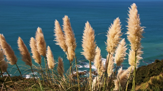toitoi grass mangawhai cliff walk Thomas Sobek flickr.jpg