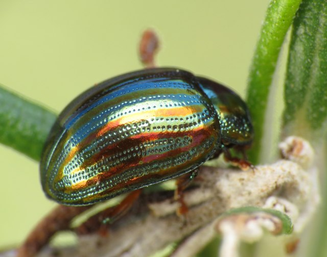 rosemary beetle, flickr, Katja Schulz.jpg