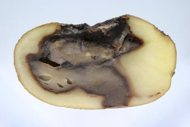 x Watery wound rot Pythium ultimum.jpg